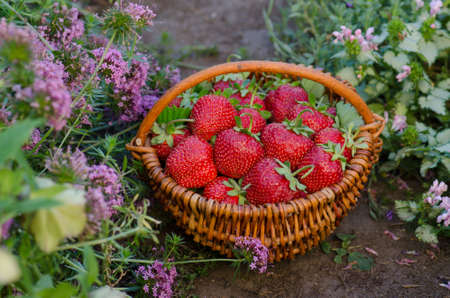 Strawberries in a basket on a background of fields with strawberry plants. Harvesting strawberries