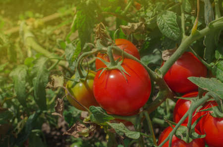 Red tomatoes growing in a greenhouse ready to pick. Fresh tomatoes plants Zdjęcie Seryjne