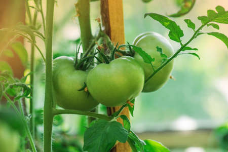 Unripe organic tomato plant. Green tomatoes in the vegetable garden. Unripe tomatoes on a branch.