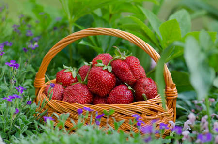 Harvesting strawberries in basket. Wicker basket with strawberries. Freshly picked strawberries in a basket on an organic eco friendly farm.