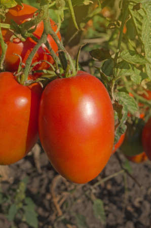 Tomatoes plum in organic vegetable garden. Ripe natural tomatoes