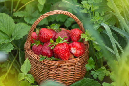 Organic industry and eco farming. Wicker basket with strawberries. Freshly picked strawberries in a basket on an organic eco friendly farm.