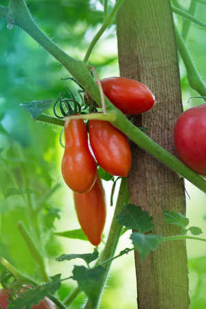 Fresh tomatoes plants. Tomatoes hanging on plants in organic farm.