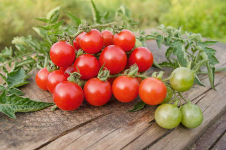 Cherry tomatoes on the vine. Ripe fresh cherry tomatoes on branch. Tomatoes cherry branch