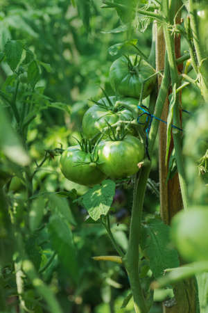 Field with green tomatoes. Unripe tomatoes ready for the harvest. Bio garden with tomatoes plants Zdjęcie Seryjne