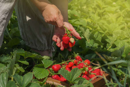 Strawberry growers working with harvest in greenhouse. Farmer pick strawberries from a bush. Farmer holds strawberries in her hand against the backdrop of a  garden