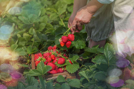 Strawberry growers working with harvest in greenhouse. Woman's hands are holding strawberries. Female hands holding fresh strawberries. Zdjęcie Seryjne