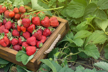 Lots of fresh strawberries. Perfect weather for harvesting strawberries. Harvesting fresh strawberries Zdjęcie Seryjne