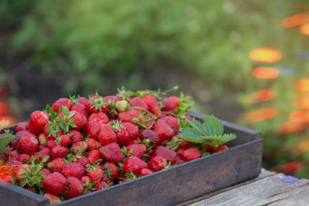 Fresh strawberries in basket. Freshly picked strawberry in wooden box. Collection of fresh strawberries in baskets