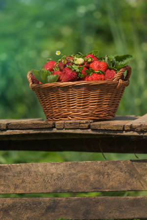 A basket full of strawberries near strawberry plants. Eco natural strawberries  agriculture. Freshly picked strawberries in a basket on a farm at summer day