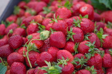Background from freshly harvested red strawberries. Fresh juicy strawberries. Fresh organic red strawberries berries macro