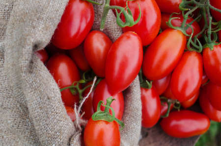 Natural  product concept. Fresh long plum tomatoes in burlap bag. Tomatoes on wooden table