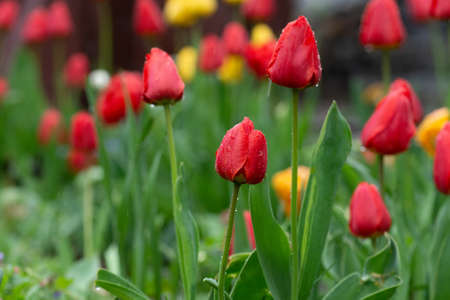 Tulip flowers field. Tulip flowers in spring blooming blossom