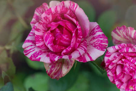 Colorful bush of striped roses in the garden. Pink roses with white stripes Pink Intuition
