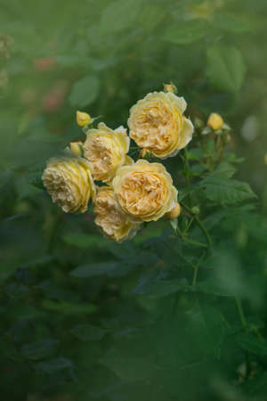 Orange flowering rosa in garden. Blooming orange English rose  Stockfoto
