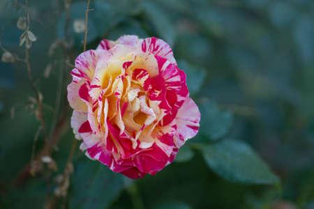 Claude Monet roses grows in the garden