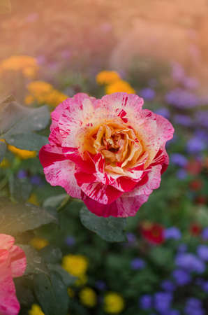 Claude Monet roses. Striped yellow and red roses known as Claud Monet roses.