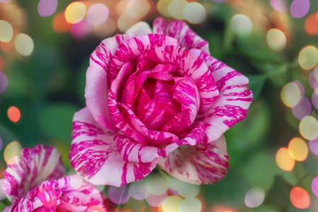 Beautiful pink and white striped rose Pink Intuition. Colorful bush of striped roses in the garden.