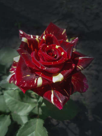 Colorful bush of striped roses in the garden. Beautiful red and white striped rose Abracadabra Banque d'images