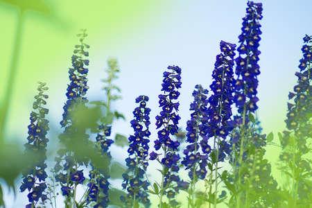 Delphinium blue grows in the garden. Double blue flower delphinium collection