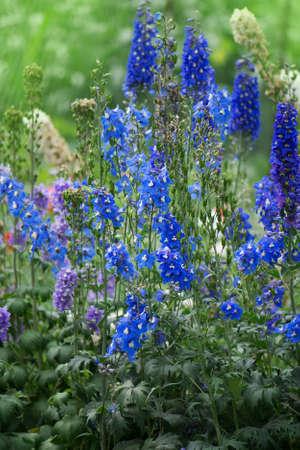 Delphinium in the garden. Blue delphinium flower as nice natural background Stock Photo