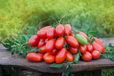 Fresh tomatoes from farm. Back to nature farming. Tomatoes fruits in growth at fields. Healthy lifestyle Stock Photo