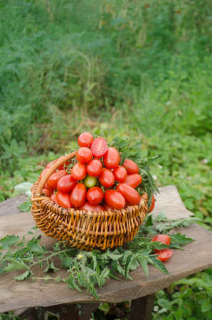 Group of plum tomatoes on a wooden table. Italian plum tomatoes. Beautiful image of farmland