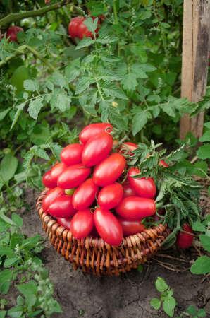 Italian plum tomatoes in basket. Plum red tomatoes in wicker basket. Piccadilly tomato in basket Stock Photo
