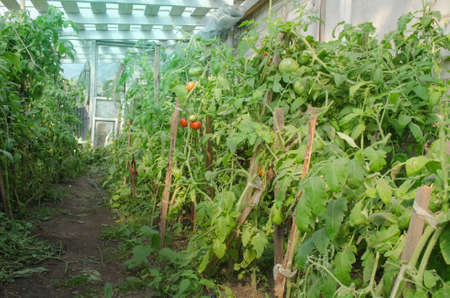 Field with green tomatoes. Bio garden with tomatoes plants. Unripe organic tomato plant. Stock Photo