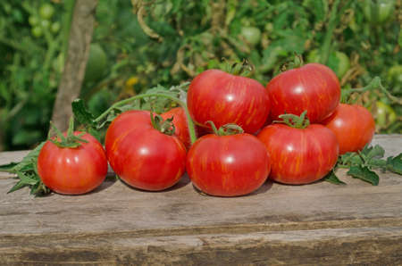 Tomatoes on wooden table. Heap of fresh tomatoes on wooden table. Natural product concept. Macro food background. Berkeley Tie Dye pink tomatoes