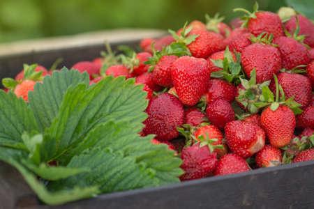 Strawberries healthy berries in sunny day. Fresh berries healthy food. Stock Photo