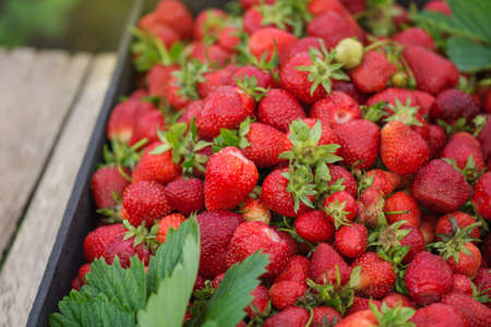 Strawberries in a box of fruit at a farmers market. Locally grown and sustainably harvested red strawberries. Fresh locally grown strawberries