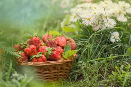 Harvesting strawberries in basket. Wicker basket with strawberries. Freshly picked strawberries in a basket on an organic eco friendly farm.