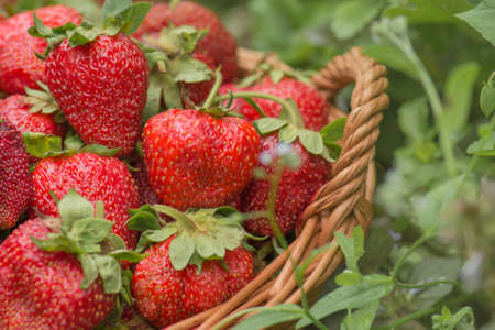 Delicious juicy red strawberries in a basket. Strawberries in a basket on a background of fields with strawberry plants.