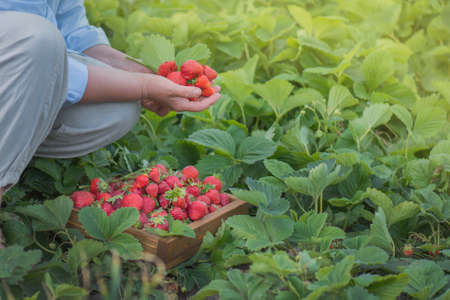 Strawberry growers working with harvest in greenhouse. Woman's hands are holding strawberries. Female hands holding fresh strawberries. Stock Photo