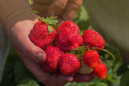 Strawberry growers working with harvest in greenhouse. Farmer hands holding fresh strawberries.