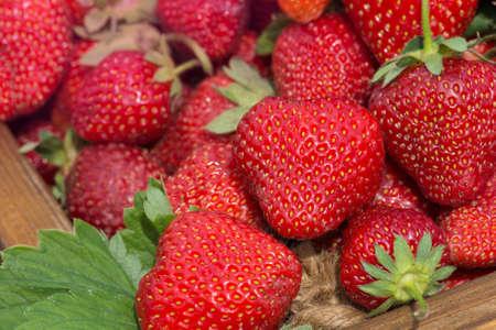 Background of ripe strawberries. Heap of ripe red strawberries. Set of red and ripe strawberries