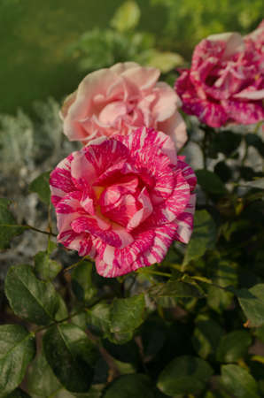 Beautiful striped rose Pink Intuition in the garden