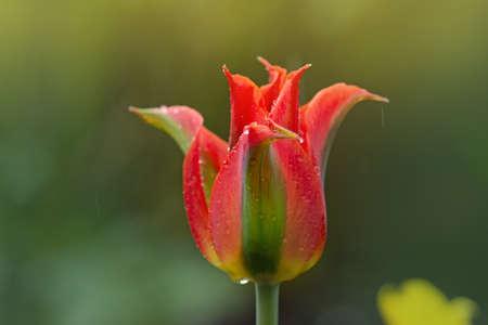 Beautiful orange and green flower tulip Green River growing. Beautiful tulip Green River