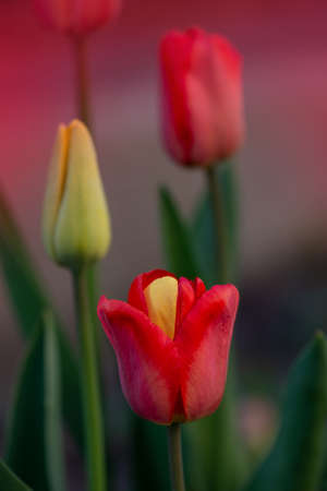 Red beautiful tulip with one yellow petal. Plant displays the rare mutation. Strange flower mutation