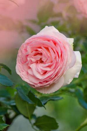 Beautiful pink rose in a garden. Beautiful rose garden in spring. Delicate pink rose in the garden. Fresh organic flowers macro. Banque d'images