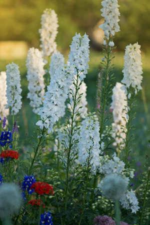 Bio garden with delphinium flowers plants. Blossom in autumn or summer garden. Delphinium flowers plant growing in garden