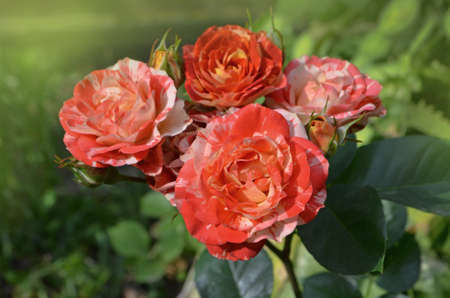 Beautiful unique two color rose. Striped pink orange flower grown. Bicolor yellow red roses with stripes. Multi colored pink yellow red roses with white stripes.