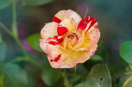 Camille Pissarro roses grows in the garden
