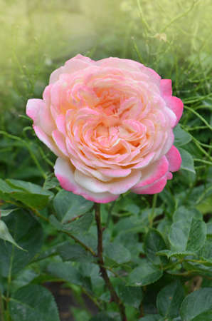 Rose petel change from yellow to pink. Rose growing outdoor.