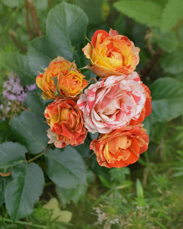 Bicolor yellow red roses with stripes. Multi colored pink yellow red roses with white stripes. Two tone roses flower in the garden. Banque d'images