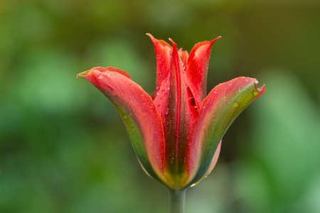 Beautiful orange and green flower tulip Green River growing