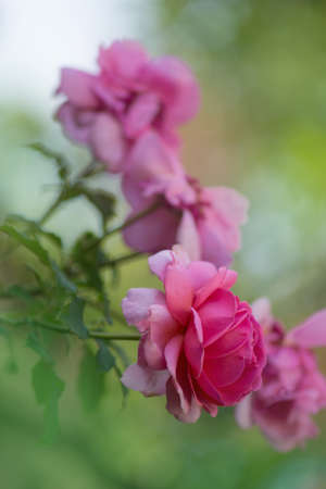 Pink rose in the field. Flowers plant growing in garden. Bush of pink roses. Pink flowers in garden.