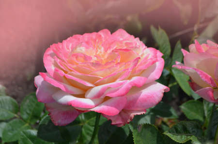 Rose petel change from yellow to pink. Rose Aquarell growing outdoor. Stock Photo