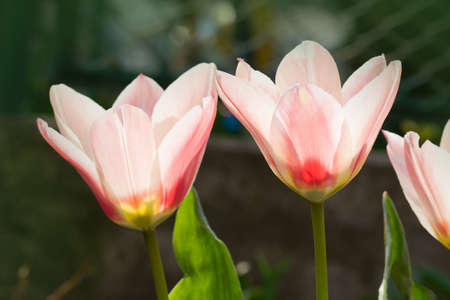 Beautiful tulip with stripe. Bright pink with white stripes on petal Stock Photo